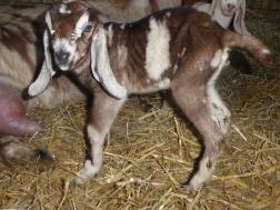 Goat Farm Tour