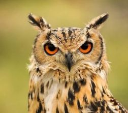KG Hawks - Birds of Prey